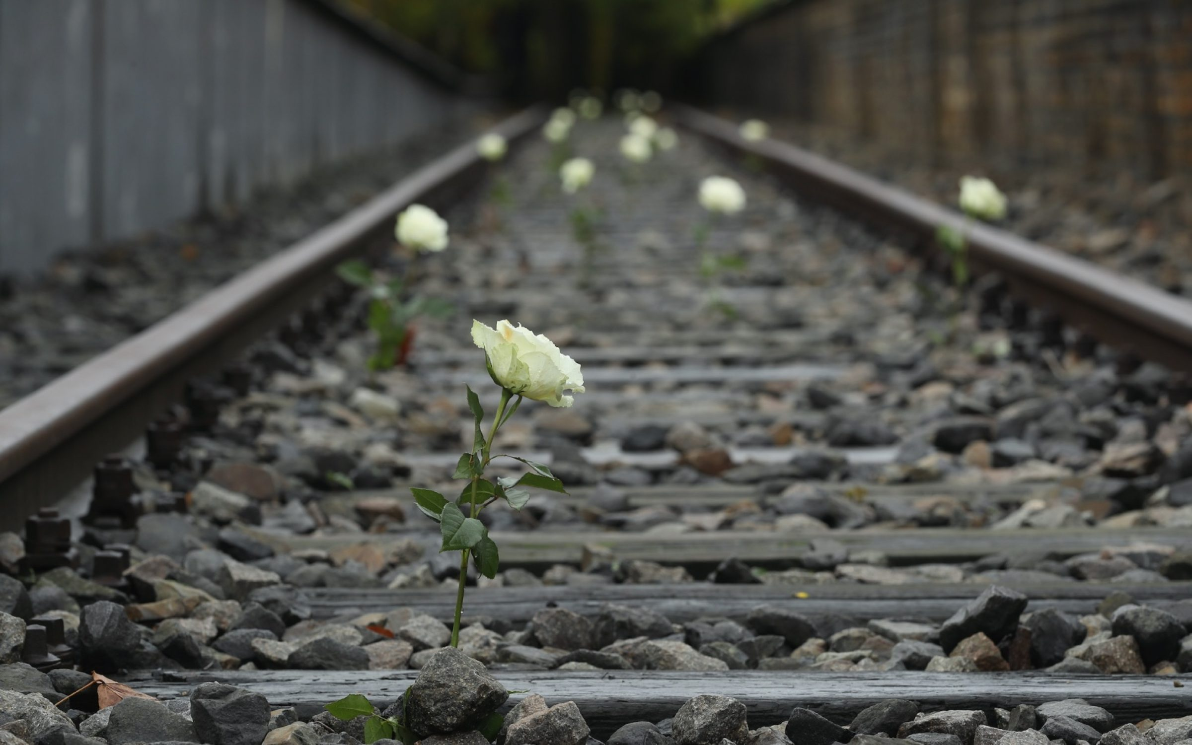 A white rose planted on Track 19, a memorial to commemorate the transportation of Berlin Jews to concentration camps during the Second World War. Credit: Sean Gallup / Getty Images.